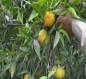 انتشار حشرتي ذبابة الفاكهة والياسمين البيضاء في بساتين كربلاء (صور)