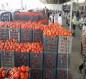 كربلاء تغرق السوق المحلية بالطماطم وتطالب بمنع استيرادها
