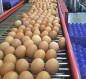 خلال شهر واحد.. انتاج أكثر من 13 مليون بيضة في كربلاء